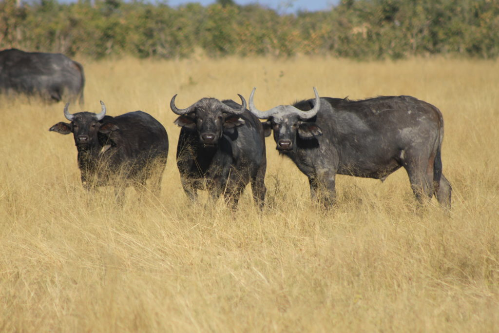 Buffalos in Chobe National Park